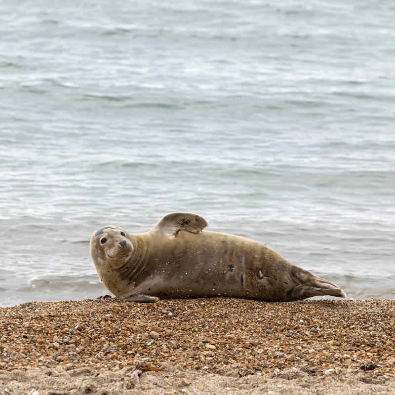 Sammy the Seal waving on Weymouth Beach