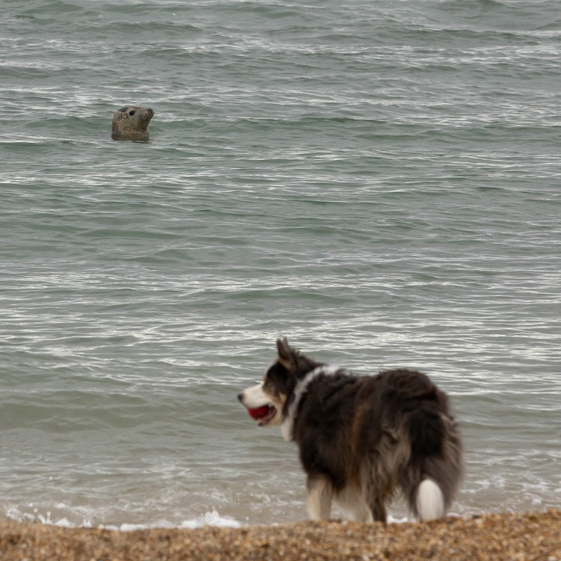 Sammy the Seal and Dog on Weymouth Beach